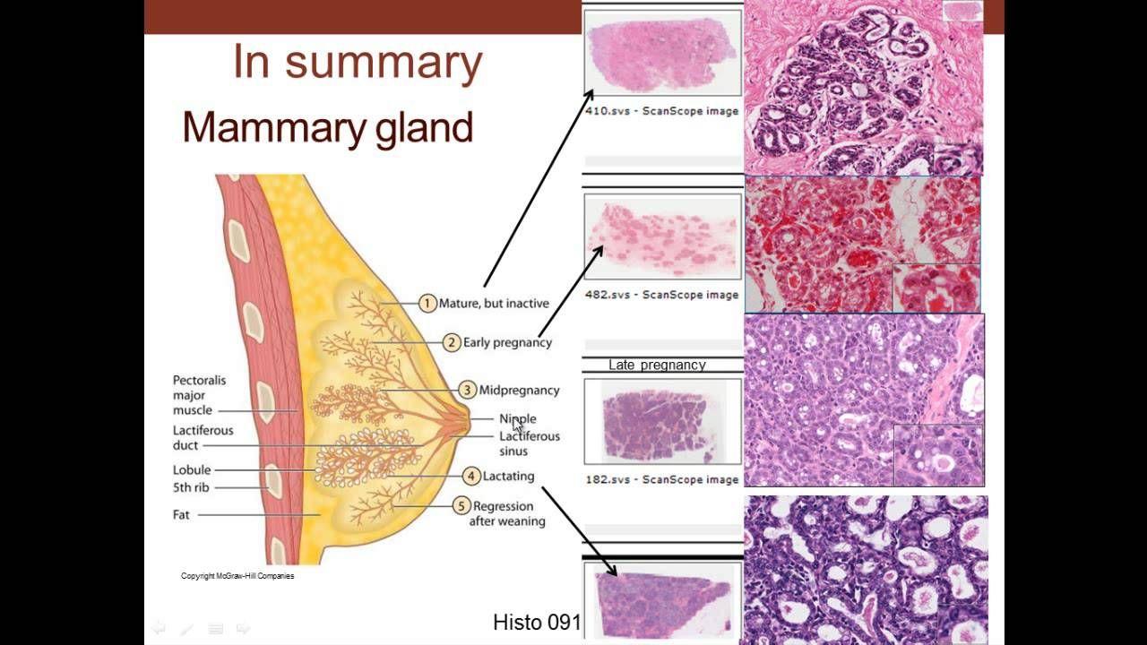 mammary gland - Cerca con Google | Anatomy | Pinterest