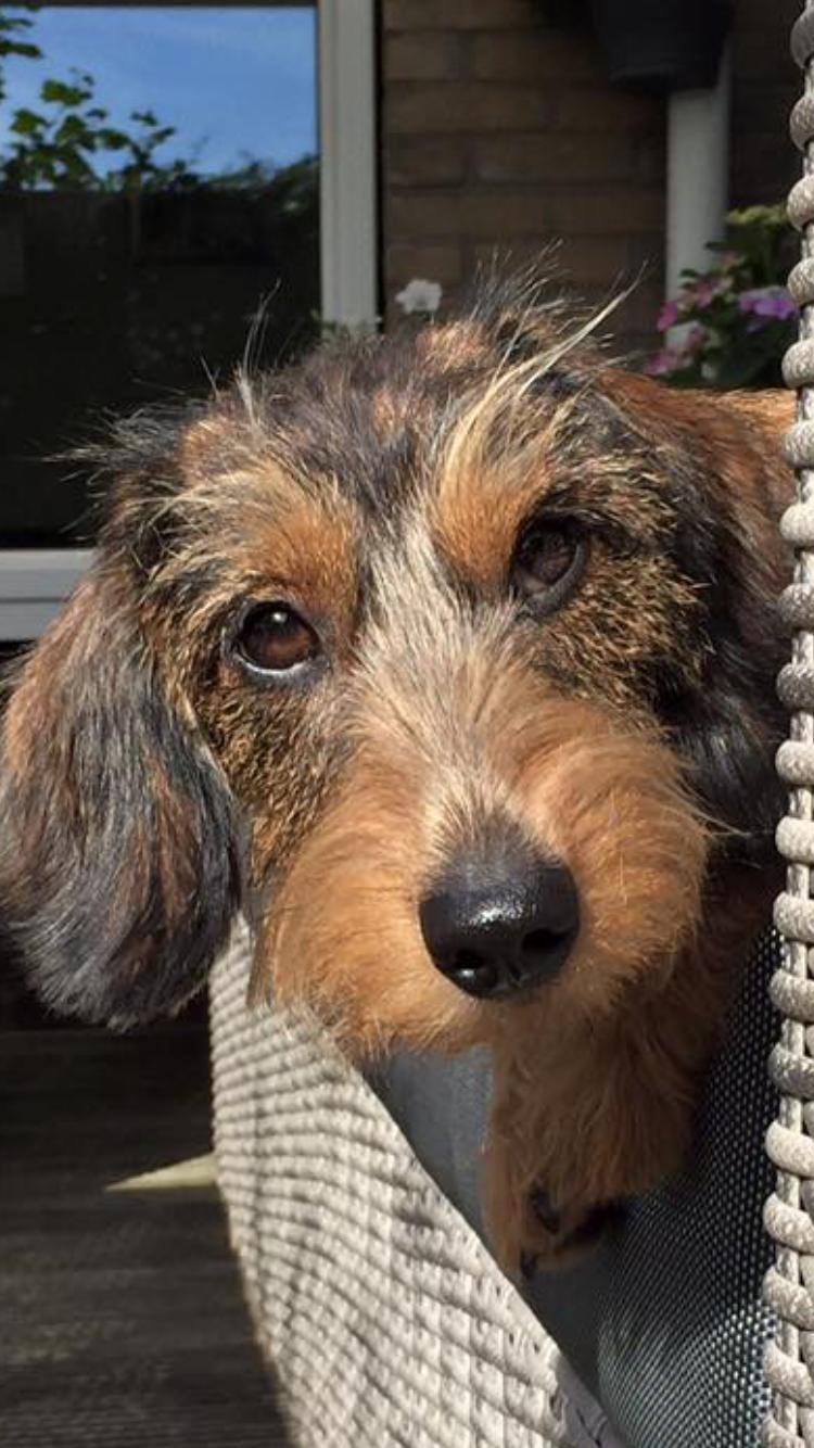 Kokki the Wirehaired Dachshund. Wire haired dachshund