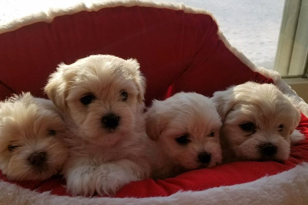 Kazar Home Breeder Has Havanese Puppies For Sale In Andover Nj On