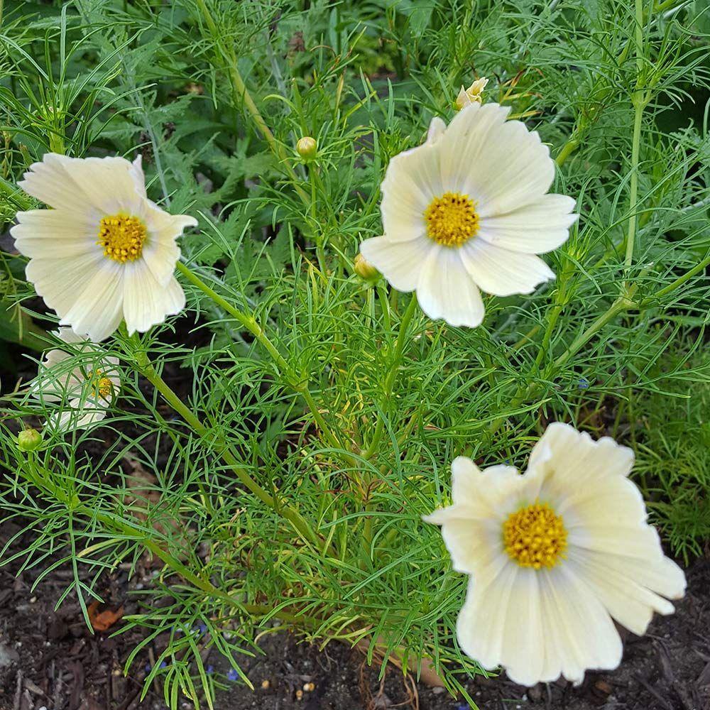 Cosmos Bipinnatus Lemonade Cosmos Flowers White Flower Farm Yellow Blossom