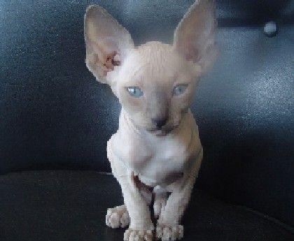 Sphynx Cats Male Stud Stud Service Ohio Michigan Sphynx Cat Cat Breeder Beautiful Cat