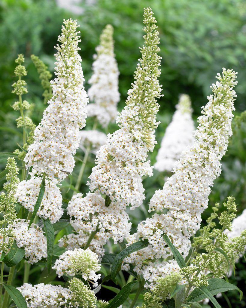 Sommerfuglebusk White Profusion Hvid Buddleja Davidii Priser Fra 44 39 Kr Planteskoler Dk Sommerfuglebusk Planteideer Planter