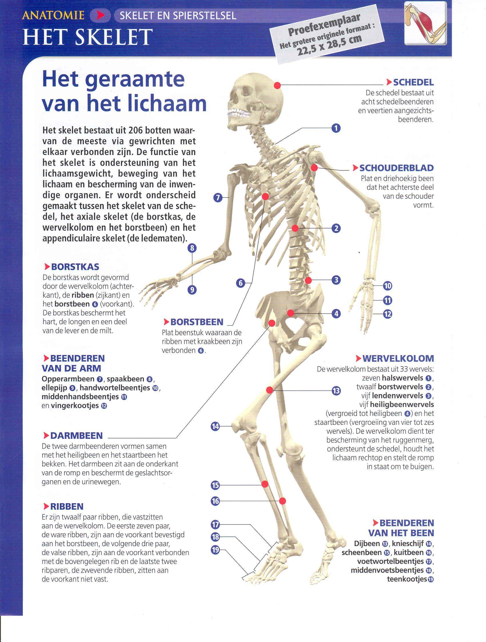 Skelet Lessen Menselijk Lichaam Lichaam Het Menselijk Lichaam