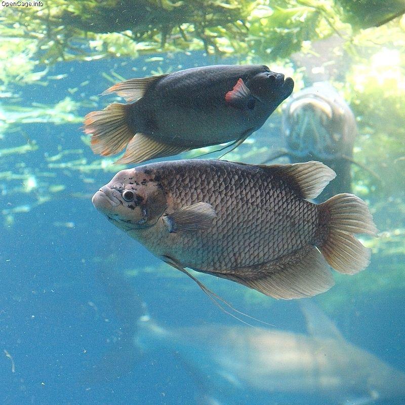 Giant Gourami Fish Kingdom Aquarium Fish Cool Fish