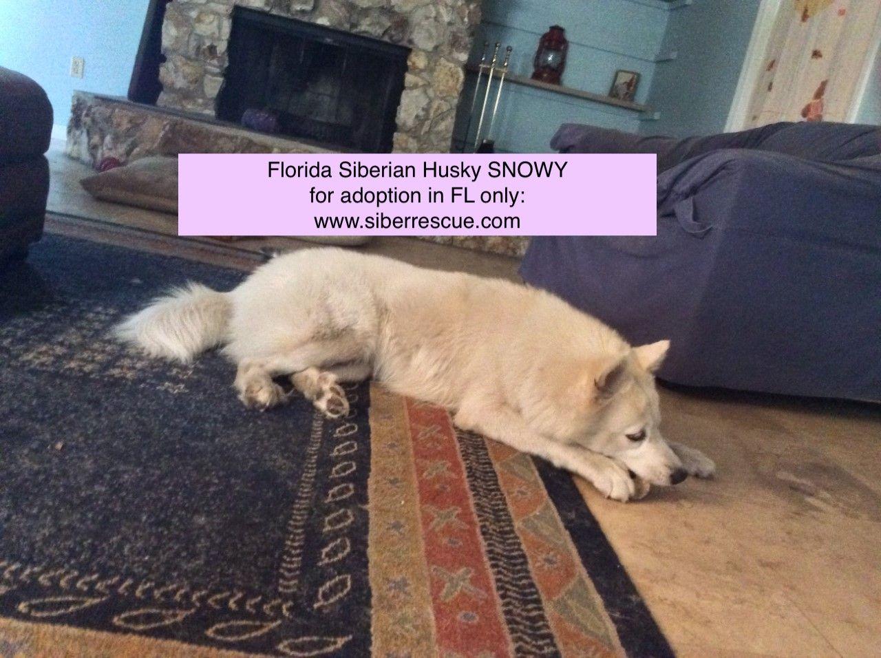Pin On Siberian Huskies For Adoption In Florida