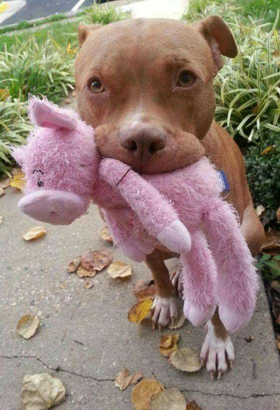 Red Nose With Pink Toy Cute Animals Puppies Pitbull Dog