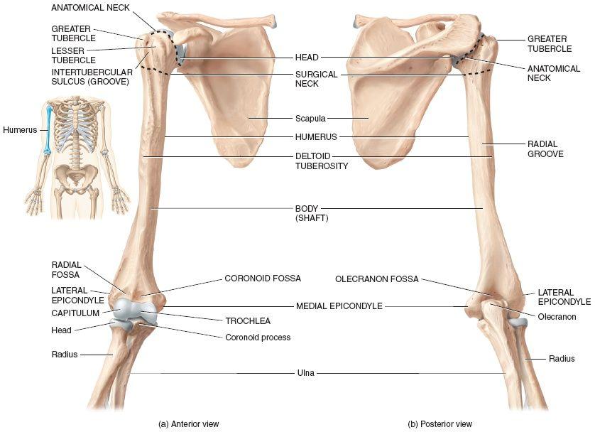 Right humerus | Anatomy | Pinterest | Anatomy