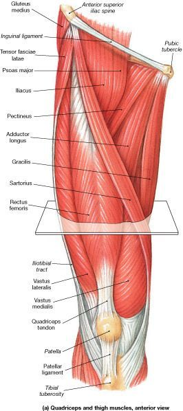 Muscle Identification- Muslo - La Unidad Especializada en Ortopedia ...