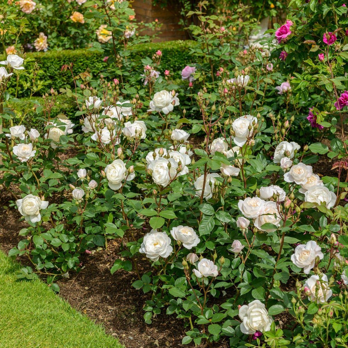 Desdemona Enjoy Beautiful Blooms All Summer Long English Roses David Austin Roses Shrub Roses