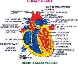 human heart diagram without labels | anp | pinterest | human heart, Muscles