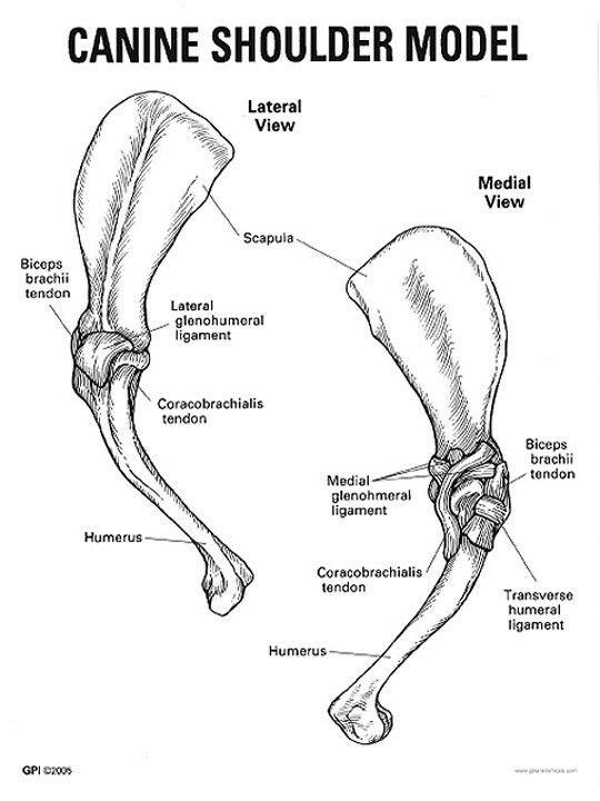dog shoulder anatomy
