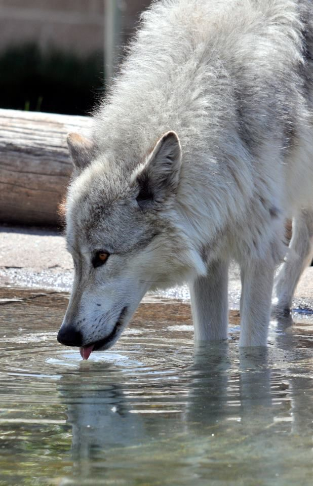 Make sure to stop by the Grizzly & Wolf Discovery Center in West Yellowstone, MT!