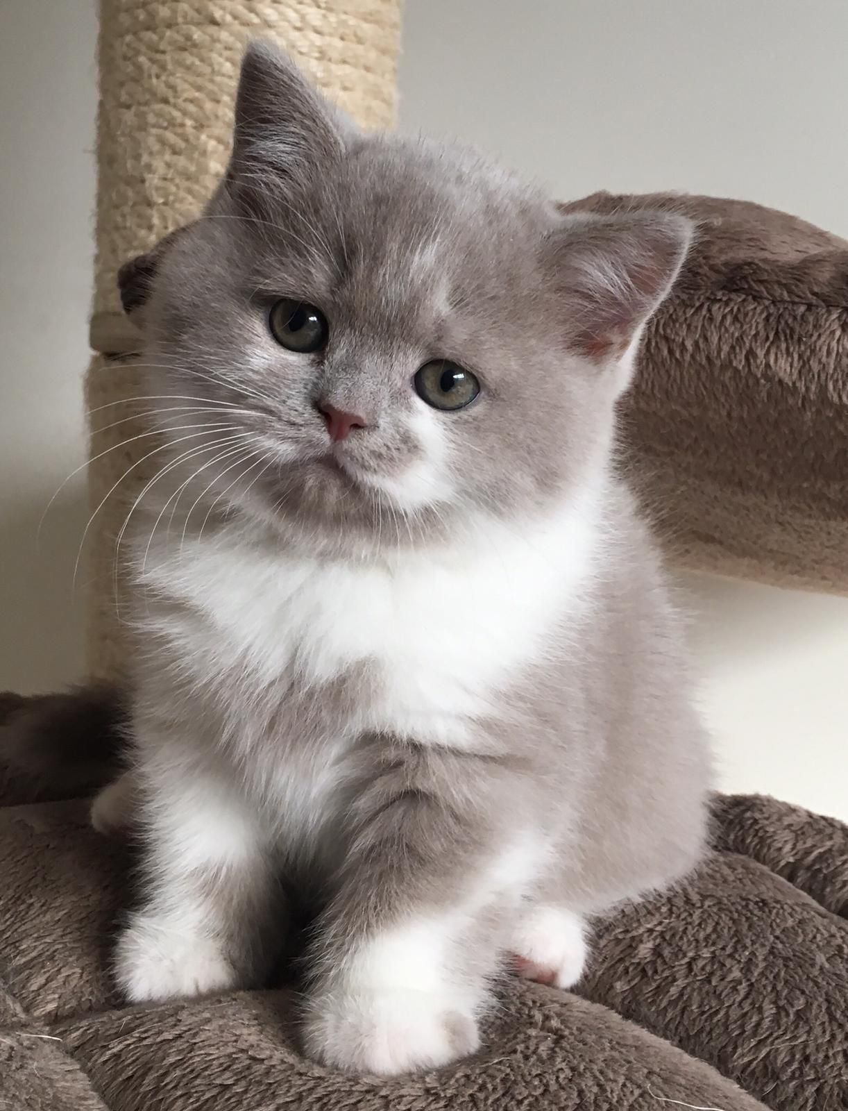 Uitgelezene Britse korthaar kitten, Mr. Ollie van Rirori. Bicolor lilac wit BZ-26