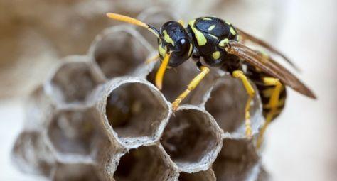 Natürliches Mittel Gegen Wespen