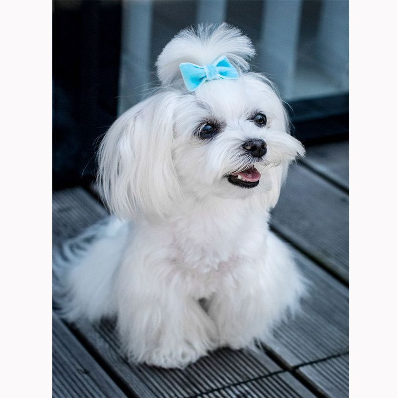 Pin By Cute Sph On Maltese Pinterest Dogs Maltese And Puppies