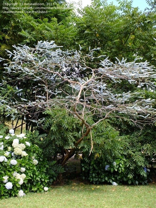 Eucalyptus Pulverulenta Baby Blue Australian Native