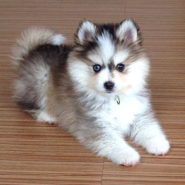 Different Eyes Mustain Pomskies Cute Baby Animals Pomsky