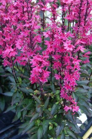 Byliny Ogrodowe Sklep Internetowy Z Bylinami Butterfly Garden Design Garden Art Diy Planting Flowers