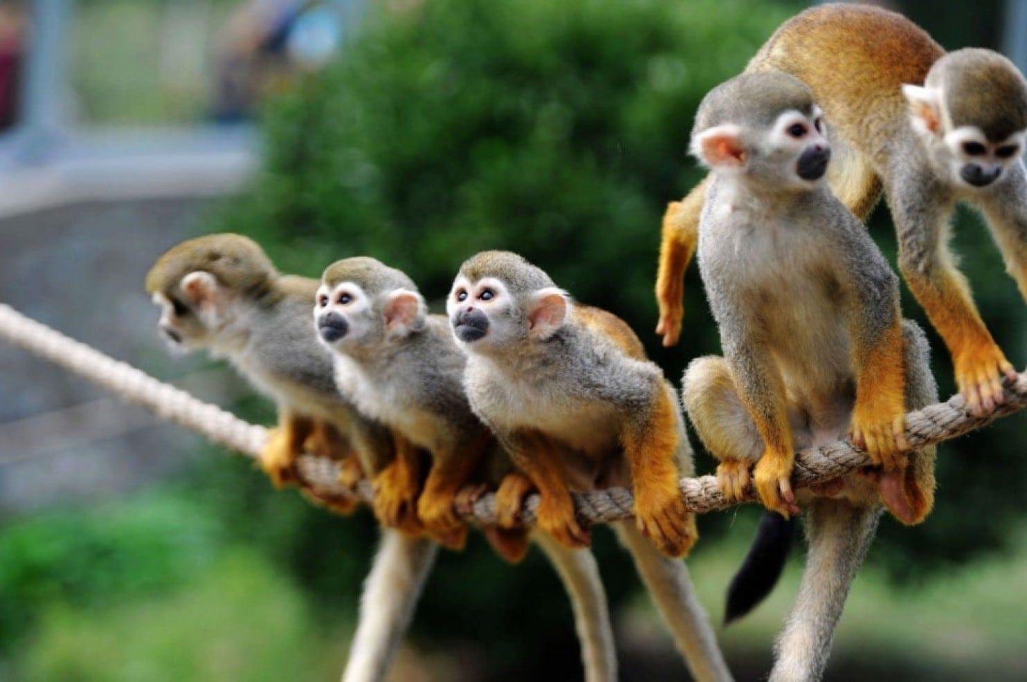 resume Resume Monkey fda halts monkey research denounced by jane goodall as shameful monkey