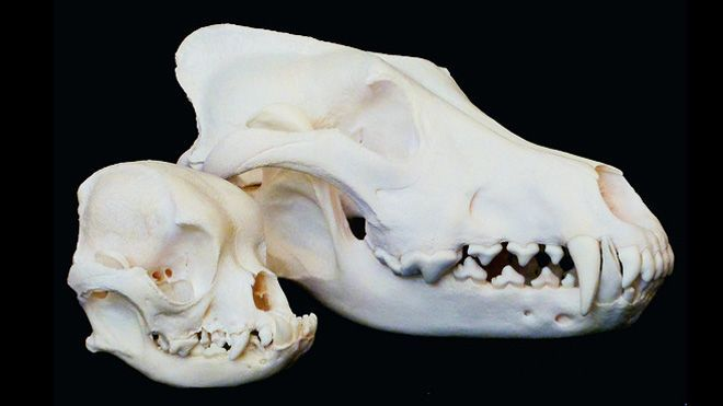Canines May Hold Clues To Human Skull Development Dog Skull