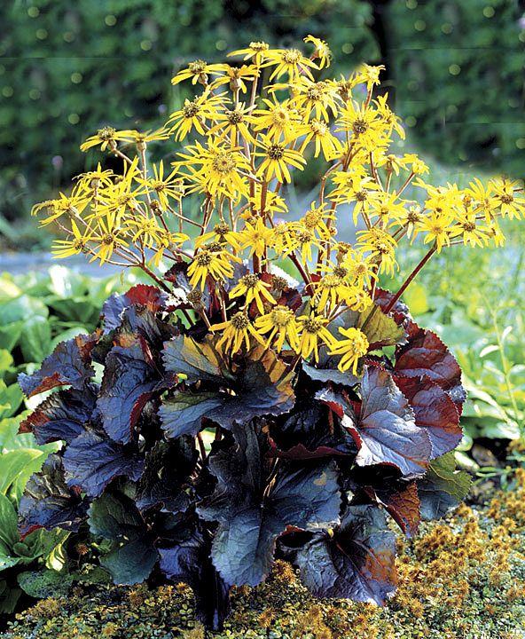 Ligularia, a chocolate-foliaged form, 'Midnight Lady'.