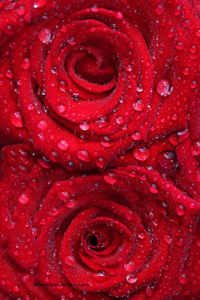 e88fff0f6b9 I Say Love...It Is A Flower... • red roses and water droplets • by ...