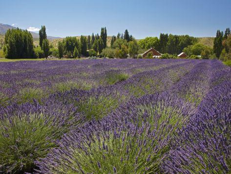 Lavender Farm, Near Cromwell, Central Otago, South Island, New ...