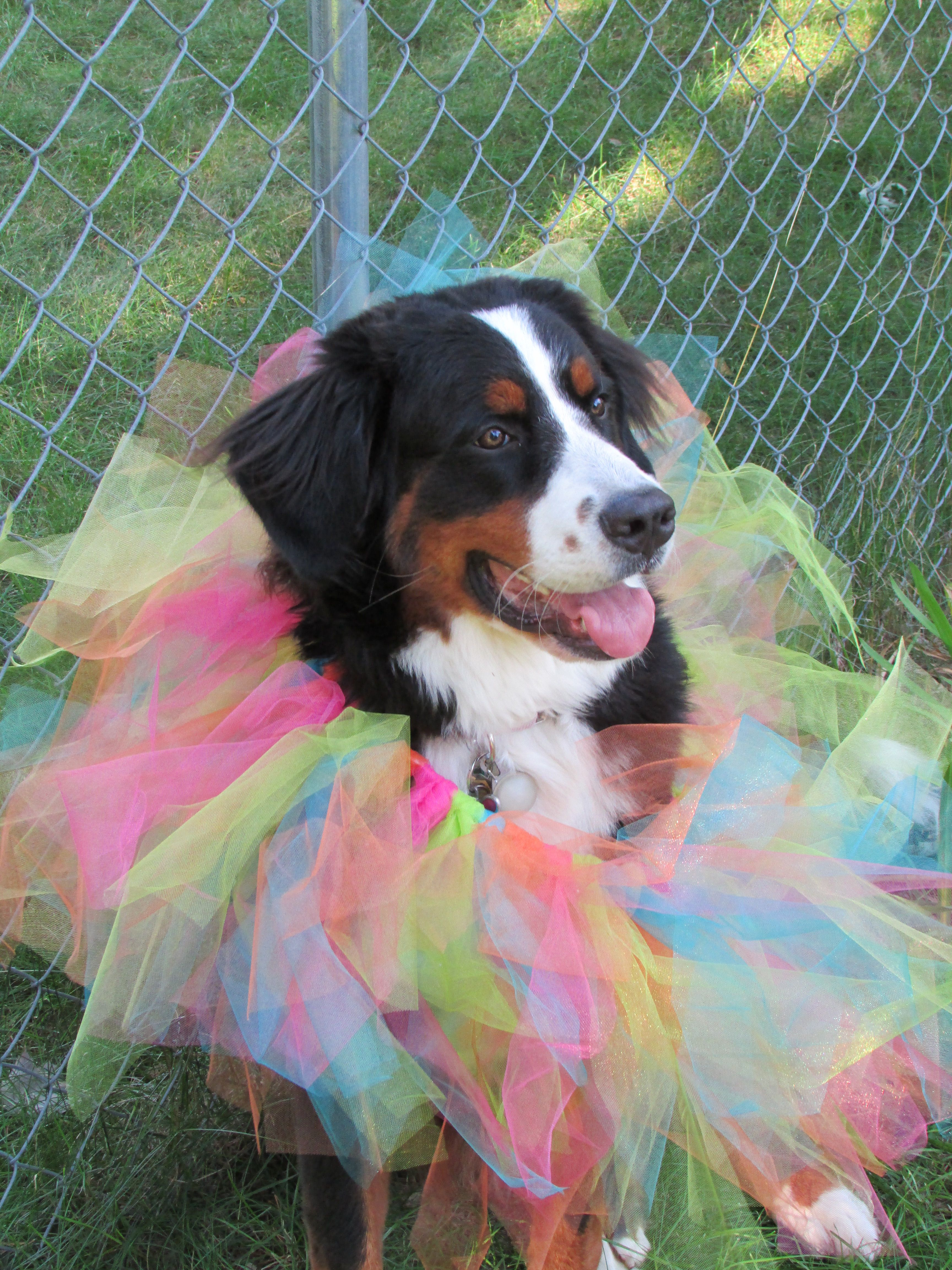Pin by Renee Claire on Baby Sawyer Bernese mountain dog