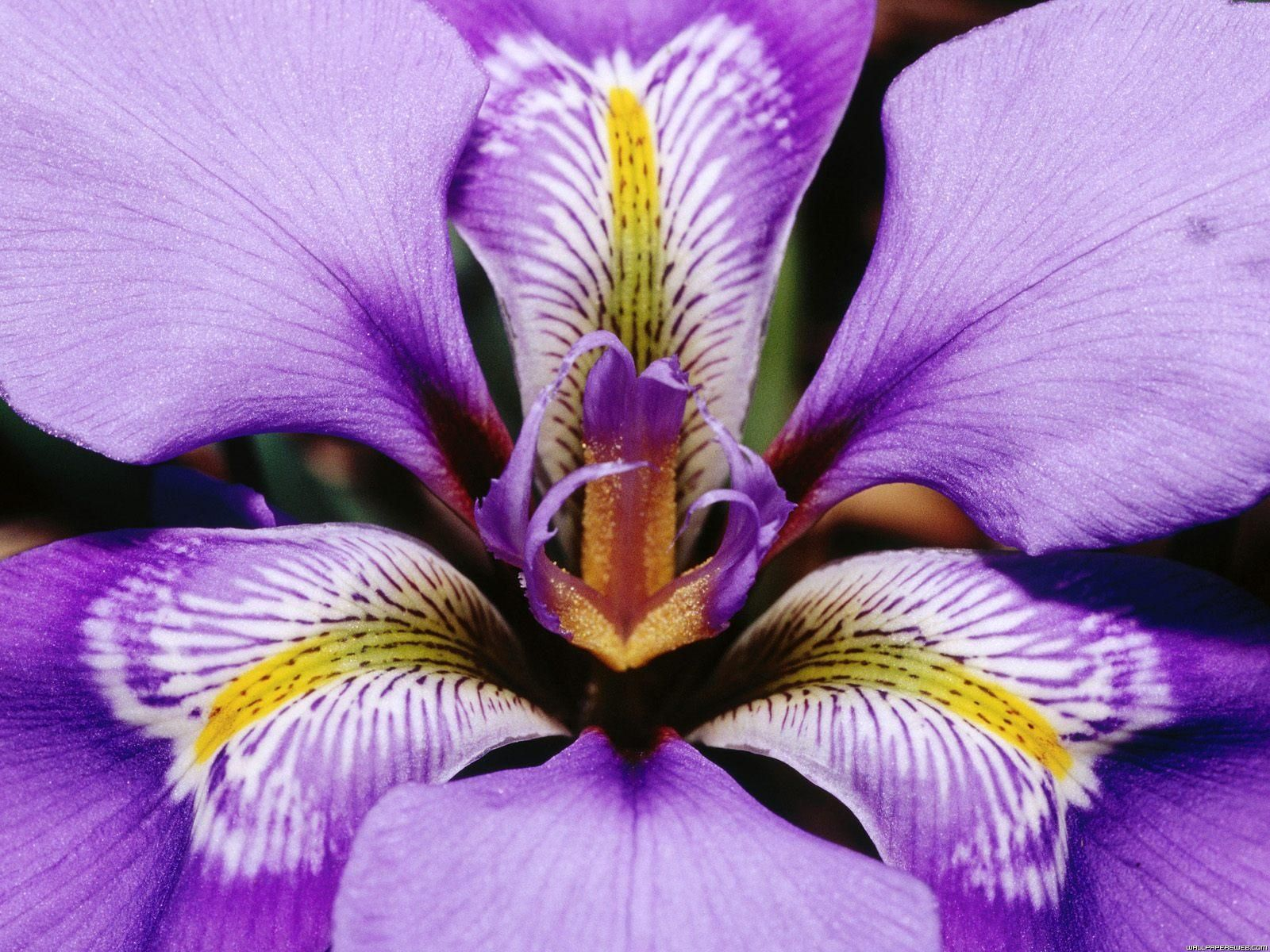 Purple iris close up purple pinterest purple iris iris and when i was younger i thought irises and orchids were sister flowers izmirmasajfo Choice Image