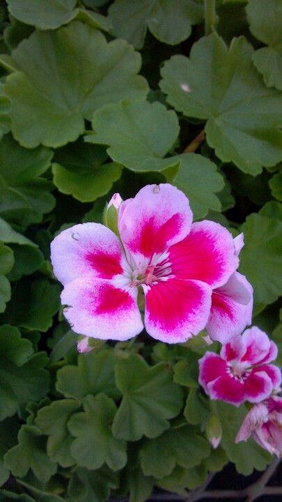 Maestro Light Pink Parfait  BOUNTIFUL PLANTS