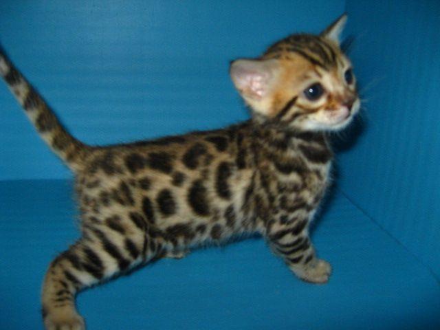 Bengal Cat Everyone Needs A Cat On The Farm 300 800 Bengal