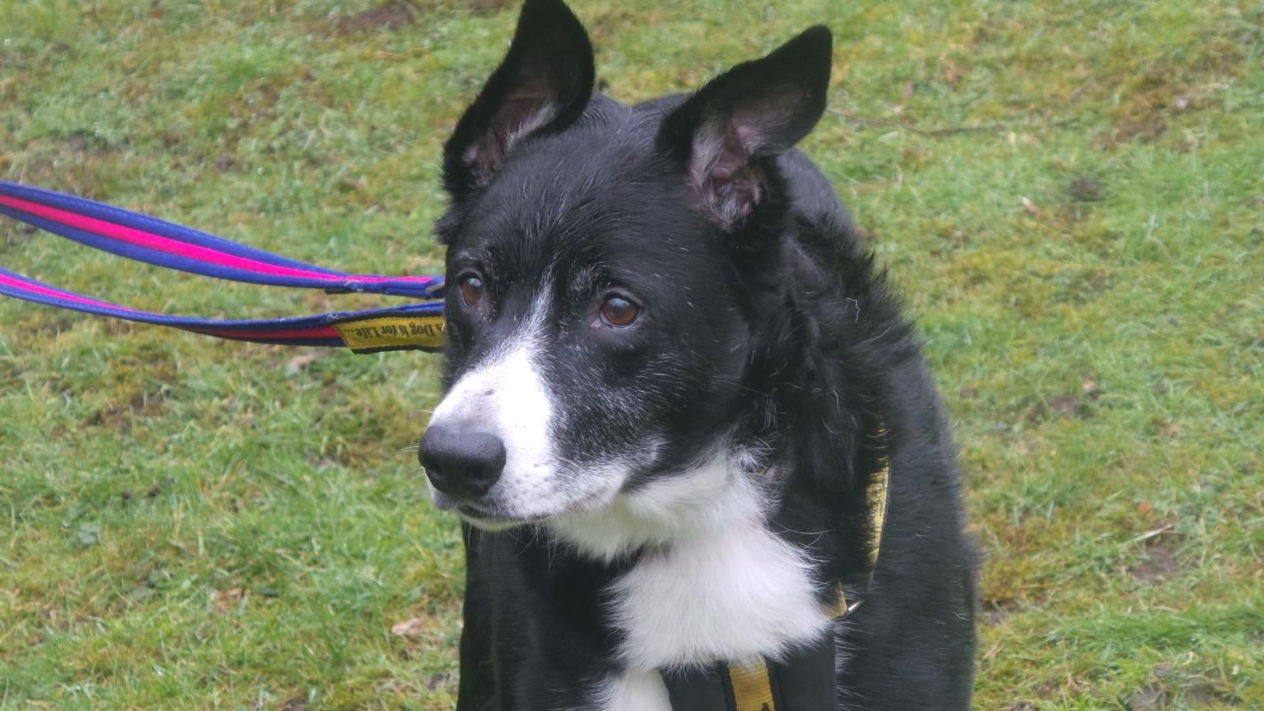 Adopt A Dog Hector Border Collie Dogs Trust Dogs Dog