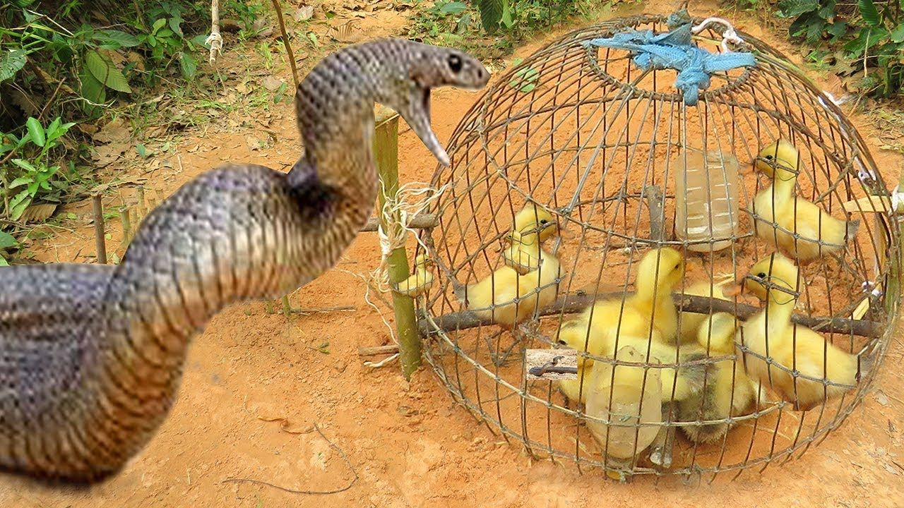 Easy snake trap amazing quick snake trap technology