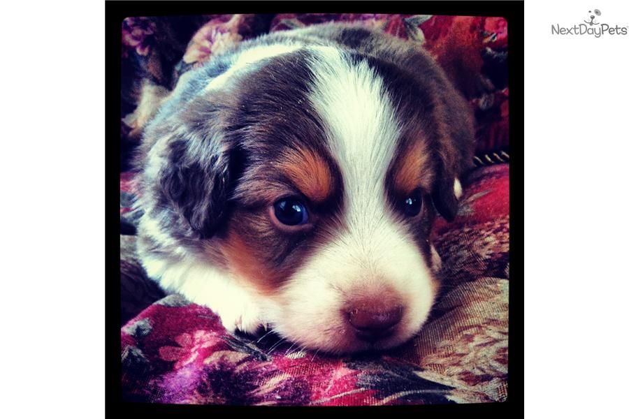 Meet Snickers A Cute Miniature Australian Shepherd Puppy For Sale For 800 Cute Red Tri Miniature Australian Shepherd Puppies Mini Aussie Puppy Aussie Puppies