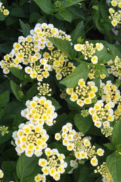 Lantana U0027Sunny Side Upu0027 Zones 7b 10b   Blooms Open Yellow/ Fading To White  W/yellow Center