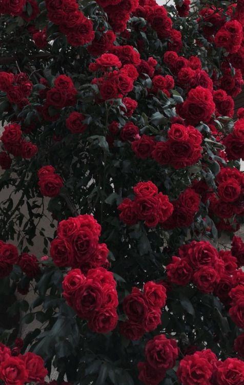 pinterest// joyful_grace Red roses wallpaper, Flower