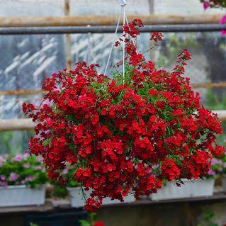 Kwiaty Balkonowe Szukaj W Google Red Peppercorn Peppercorn Red