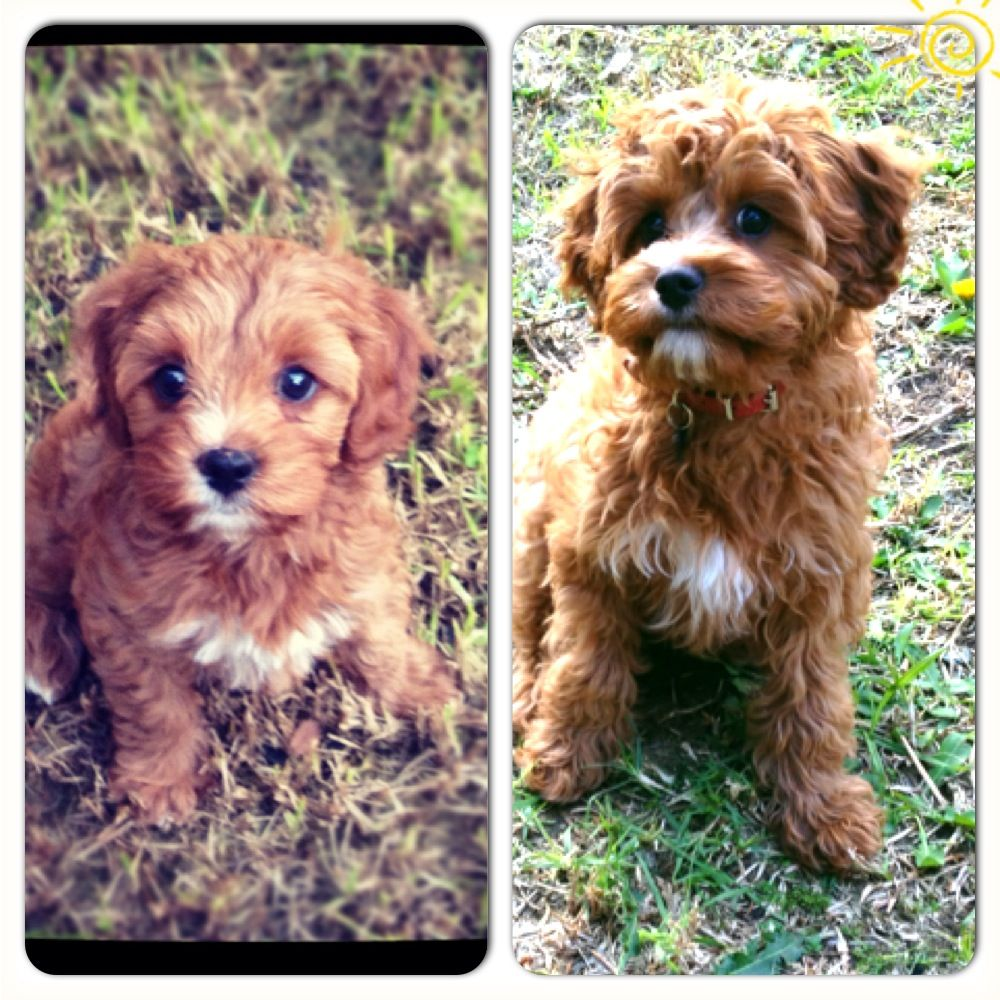 Red Toy Cavoodles Cute Animals Dogs Cute Pictures