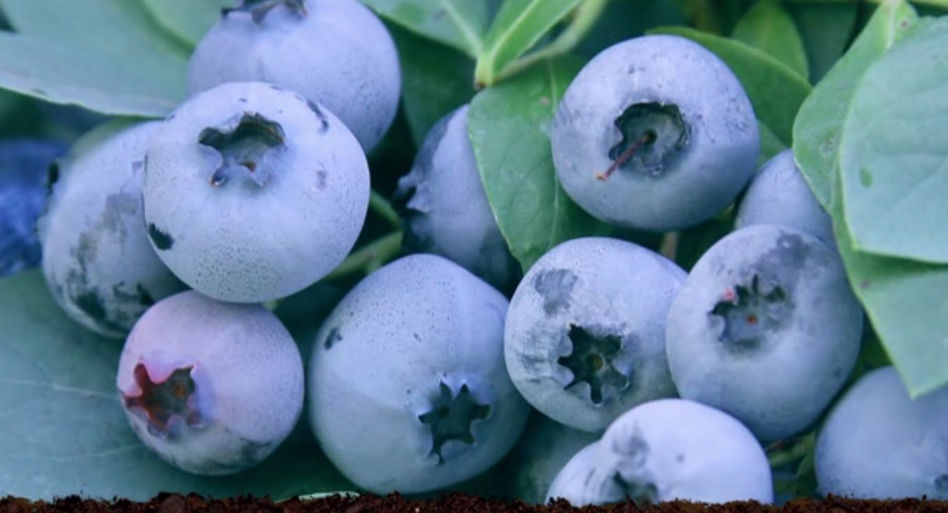 Bountiful blue blueberry the warmer climate blueberry