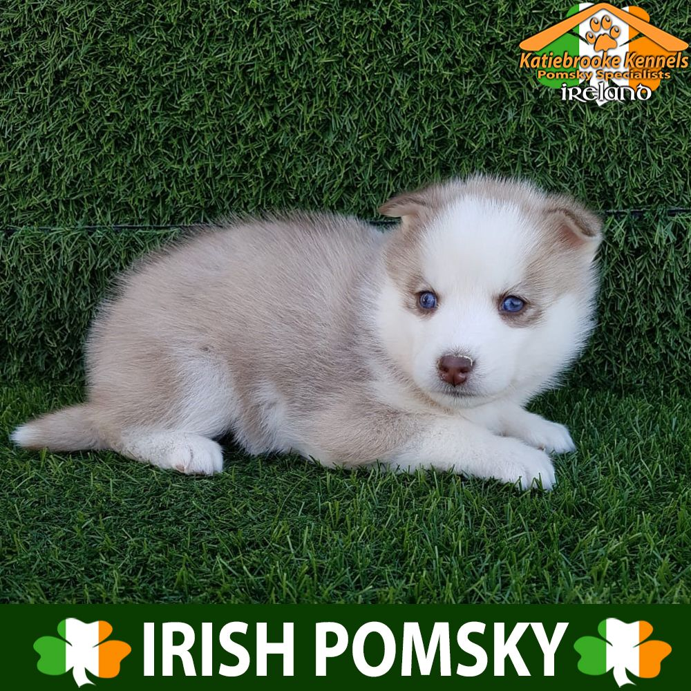 Pomsky Puppy For Sale Pomsky Puppy Lewis Katiebrooke Kennels Pomsky Puppy Specialists Ireland Price 2000 F1 With Images Pomsky Puppies For Sale Pomsky Puppies Puppies