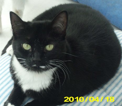 Manchester Licorice Black With White Bib And Mustache Black Kitten Cat Finder Black Cat