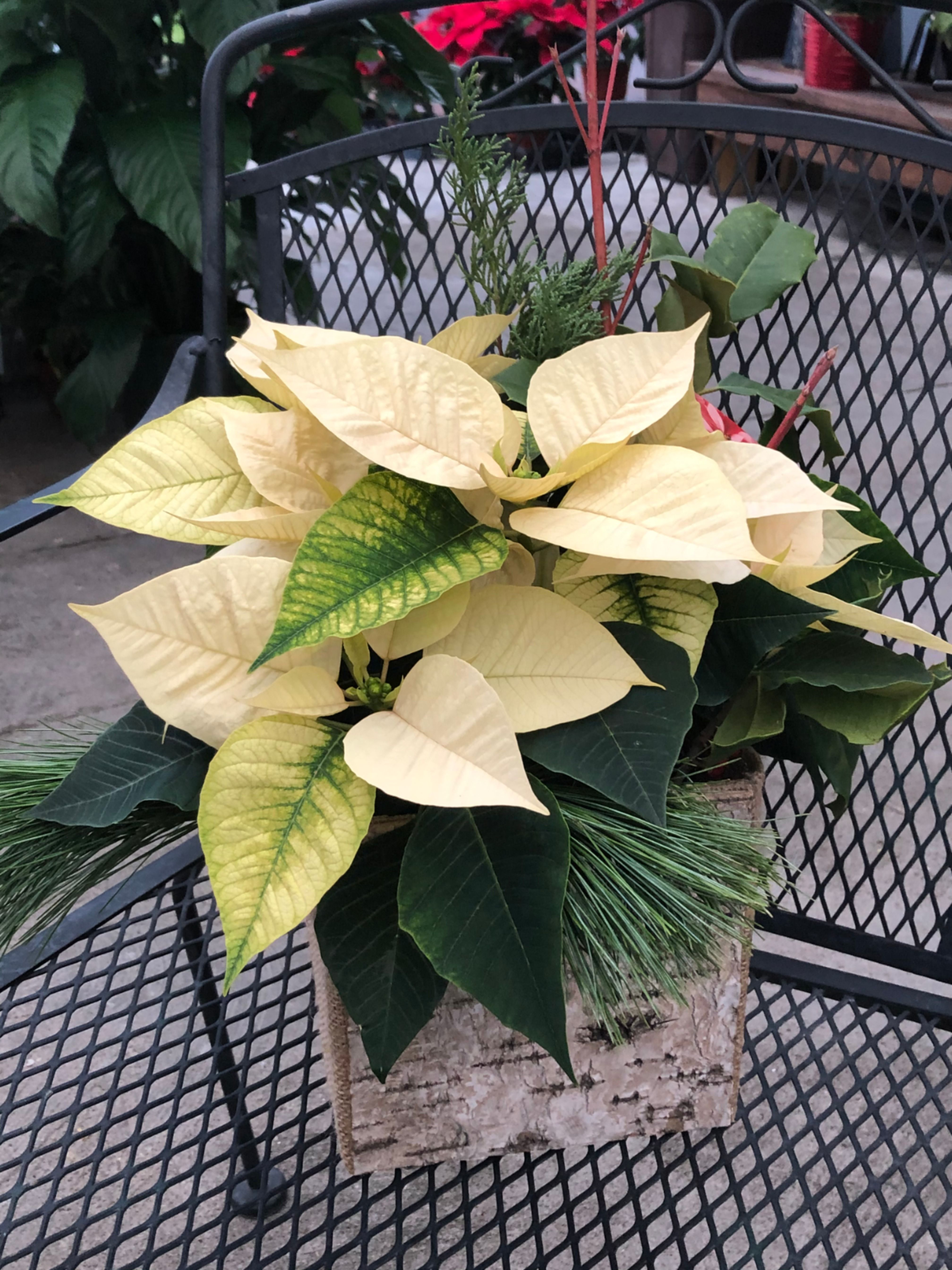 White Rustic Poinsettia Fresh Flower Delivery Poinsettia Plant Leaves