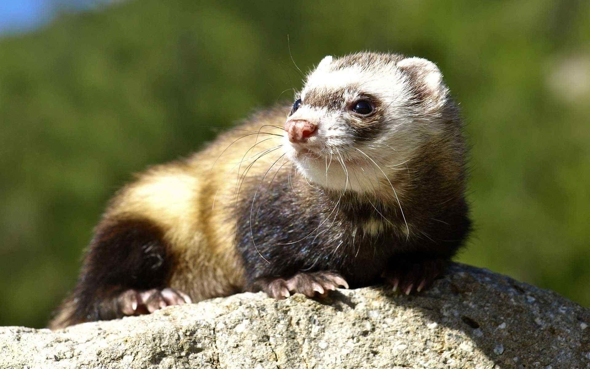 Ferret Desktop Wallpapers Ferret Pictures Cute Ferrets Endangered Animals Animals