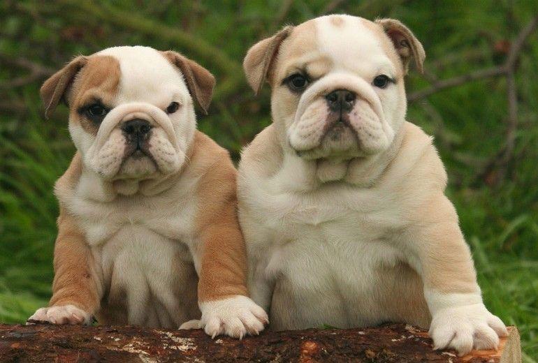 English Bulldog Puppy For Sale Bulldog Engelse Bulldogs Engelse Bulldog