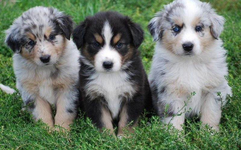 Related For Bernese Mountain Dog Australian Shepherd Mix Australian Shepherd Mix Breed Australian Sheep Dogs American Shepherd Miniature American Shepherd