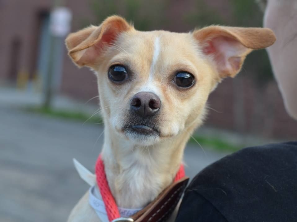SAFE - 06/16/14  Brooklyn Center    My name is CHESTER. My Animal ID # is A0989660.  I am a neutered male tan and white chihuahua sh mix. The shelter thinks I am about 3 YEARS old.   I came in the shelter as a RETURN on 06/10/2014 from NY 11213, owner surrender reason stated was HOUSE SOIL.  https://www.facebook.com/photo.php?fbid=820501614629386&set=pb.152876678058553.-2207520000.1402801945.&type=3&theater
