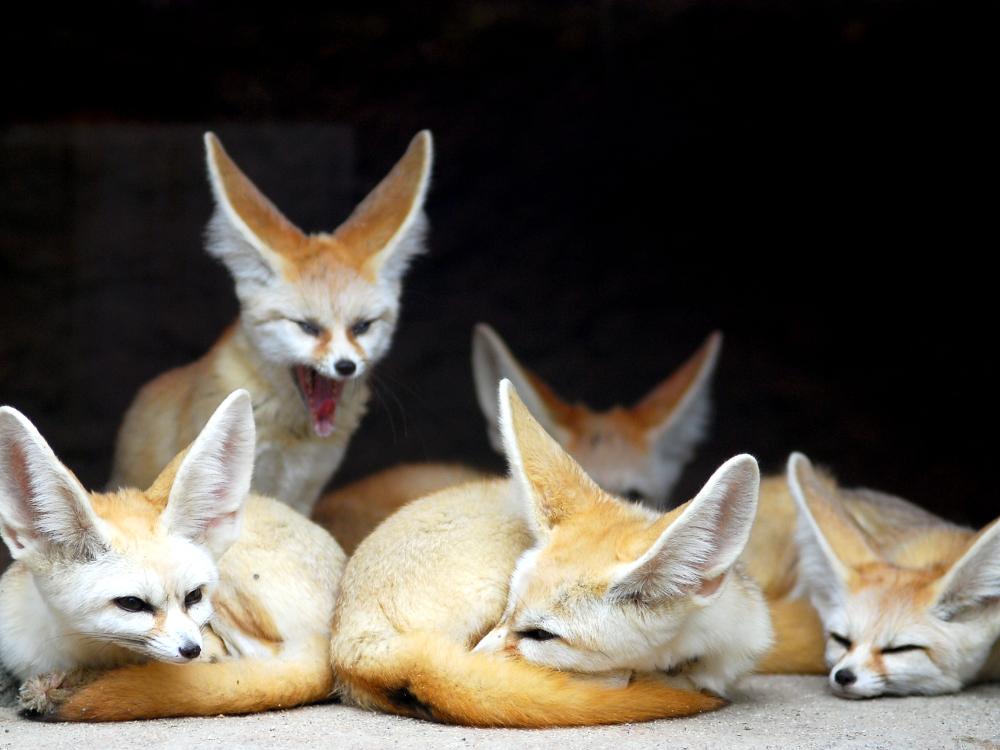 Fennec Ashy By Vengefulspirits On Deviantart Fox Art Furry Art Animal Art