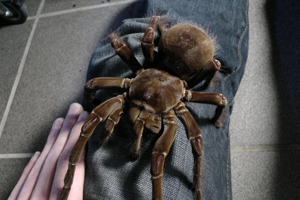 Goliath bird eater Spider, Tarantula, Insects