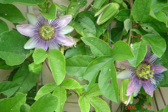 Learn How To Grow Passionflower Indoors Passion Flower Flora Flowers Growing Passion Fruit