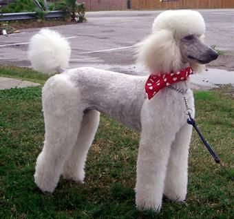 Standard Poodle Grooming This Is Gracie A Standard Poodle